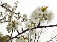 Trees-With-Cherry-Blossom.jpg
