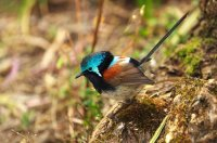 Male Red-winged Fairy wren.jpg