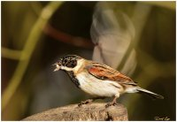 common-reed-bunting.jpg